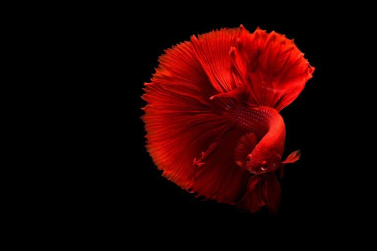 Best Betta Fish Food Reviews (Feeding Guide & Top Picks)