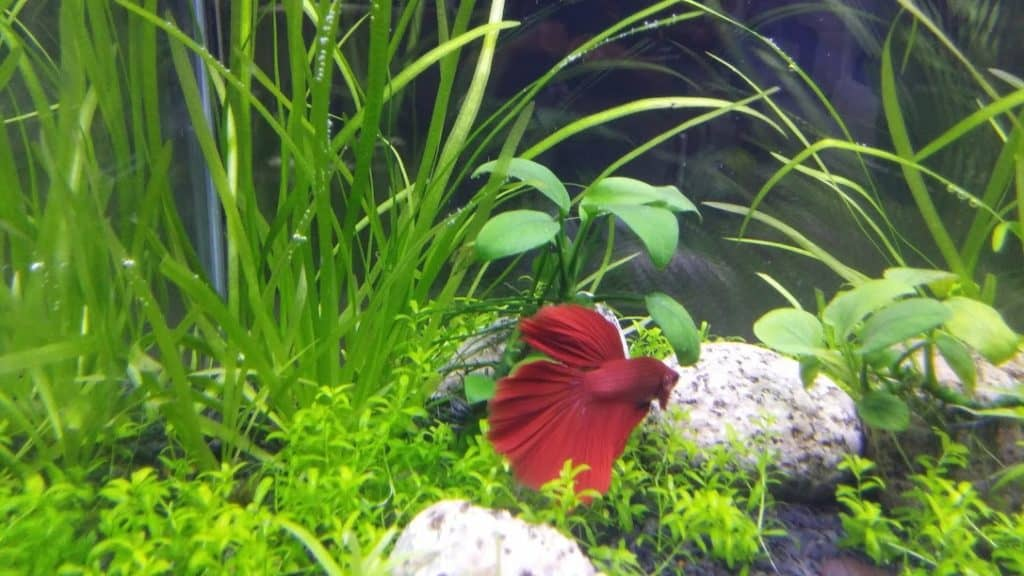Best Betta Fish Tanks Reviews With Top Picks Buyer S Guide 2018
