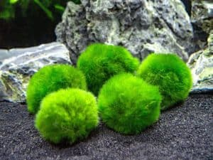 Marimo Moss Ball Benefits