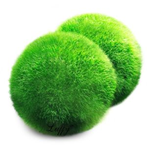 Marimo Moss Ball for Sale