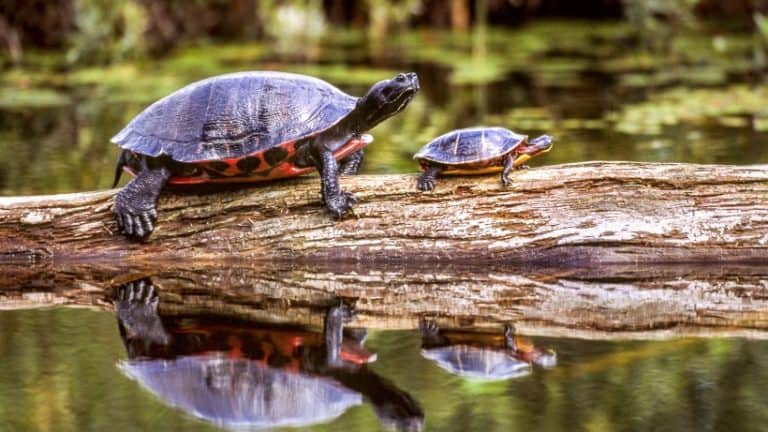 Best Turtle Foods:(That Are Reliable) & Turtle Feeding Guide