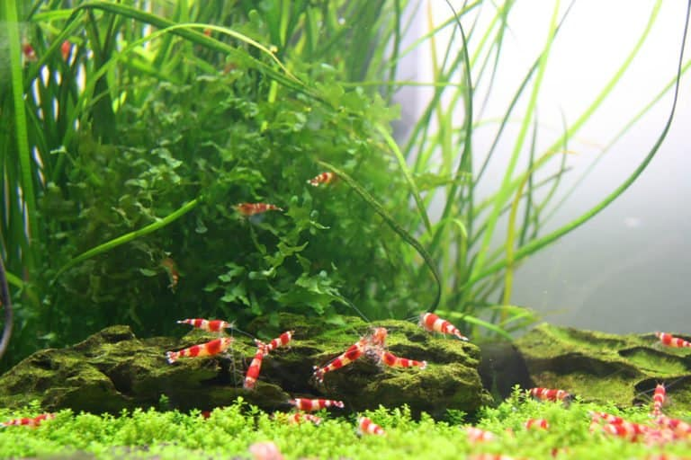 Freshwater Aquarium Shrimp for Beginners