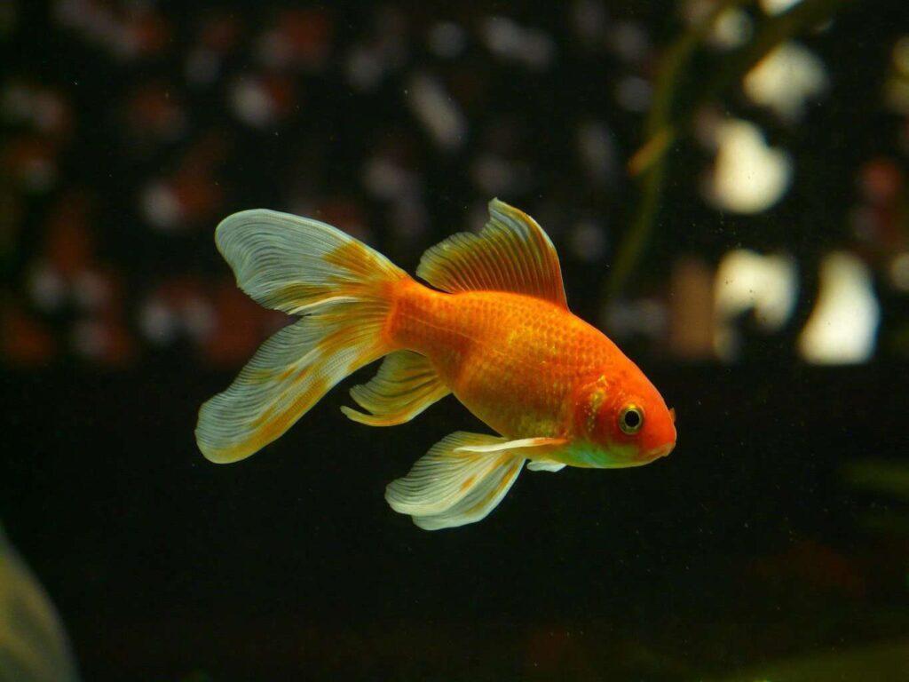 Best Tank for Goldfish