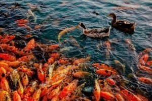 Best Food For Koi Fish