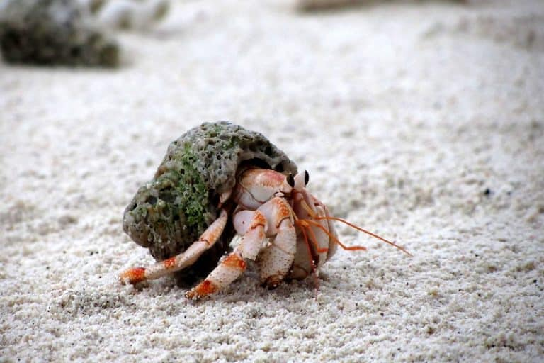 Our Hand-Picked Best Substrate for Hermit Crabs In 2021