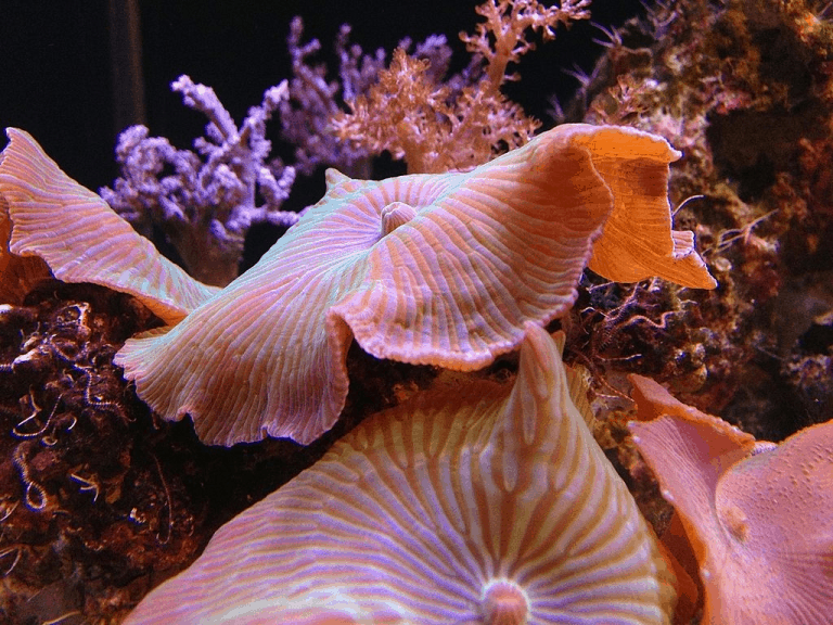 A Step By Step Guide To Fragging Mushroom Corals