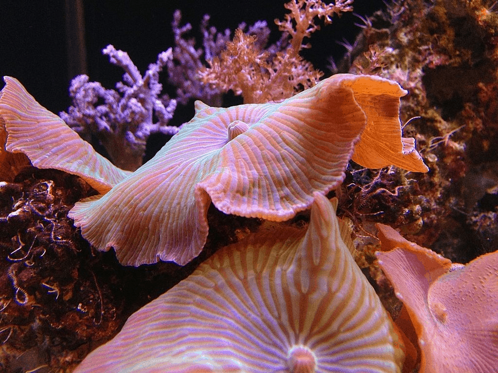Fragging Musroom Corals