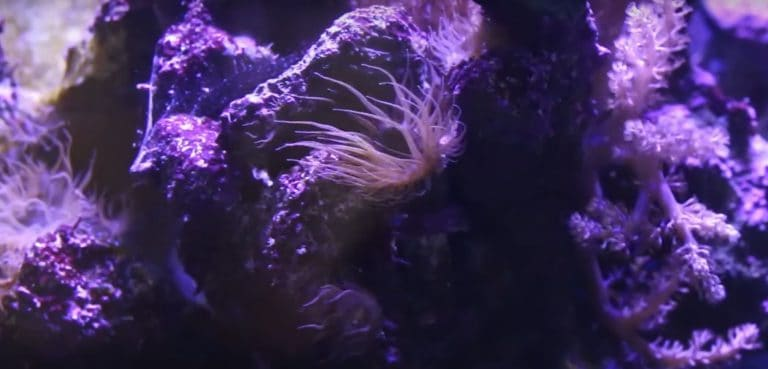 How to Get Rid of Aiptasia Anemone from saltwater aquarium