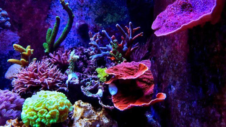 Red Slime Algae in Reef Tank: Causes & Solutions