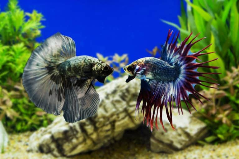 Betta Fish Care: How To Take Care Of A Betta Fish
