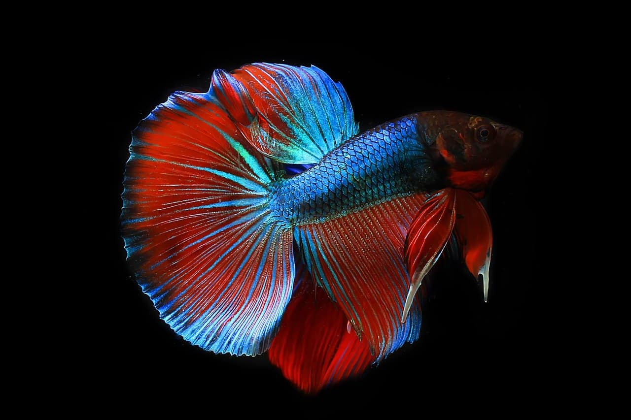 How Do You Know If a Betta Fish Is Dying