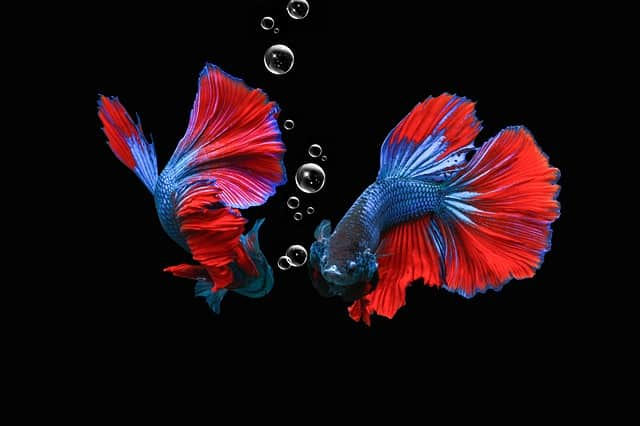 Why Do Betta Fish Make Bubbles