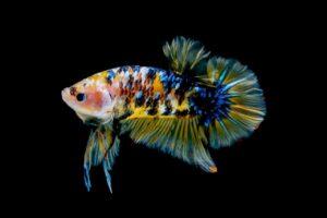 How to use Aquarium salt for betta fish