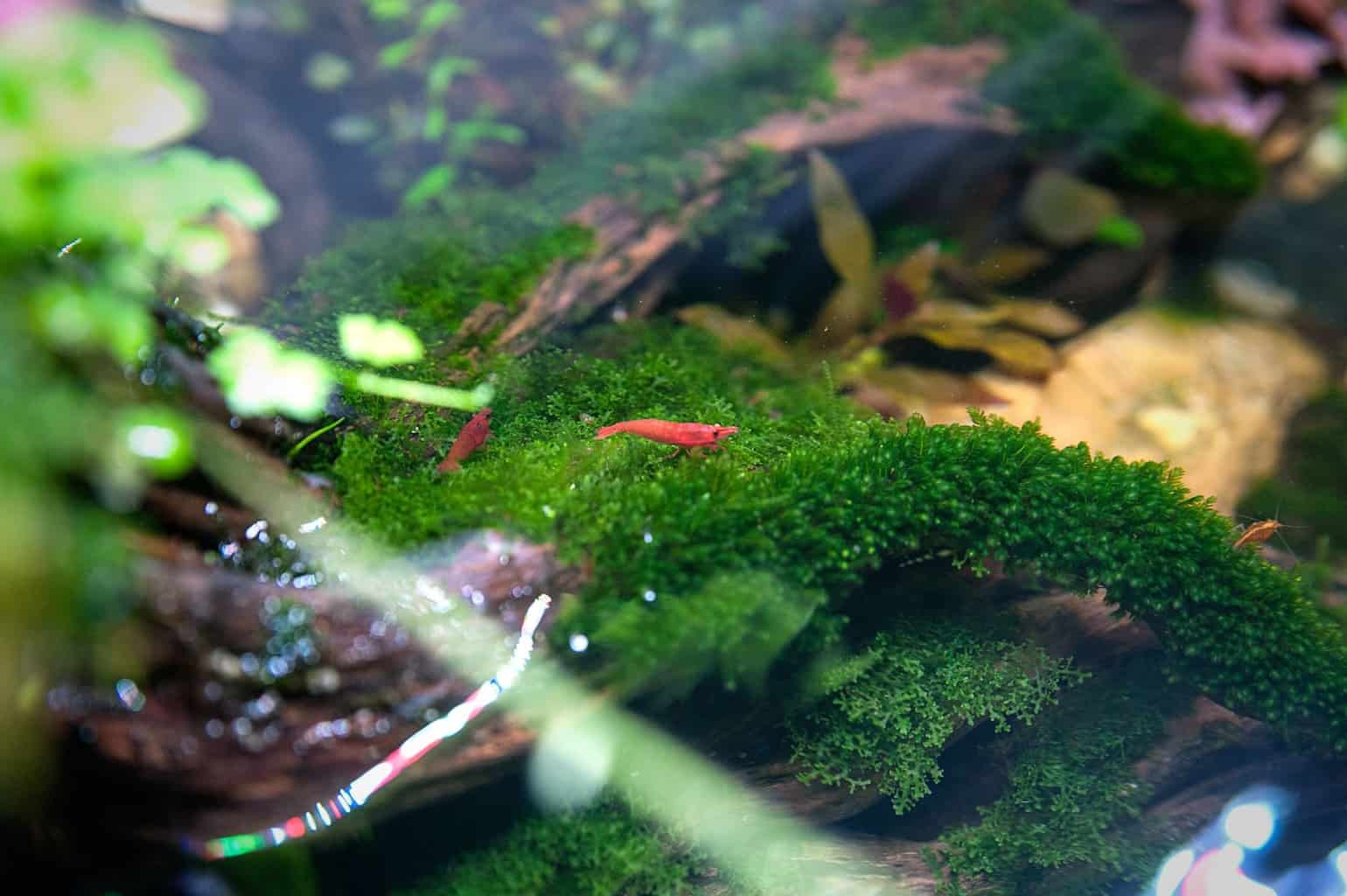 Do cherry shrimp need a heater