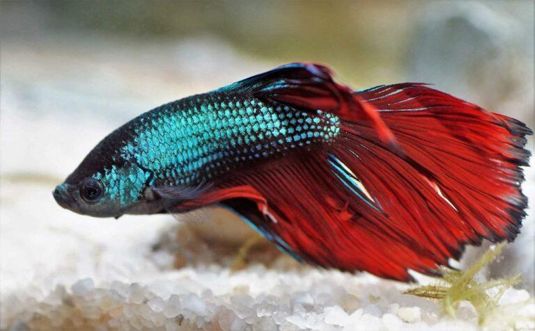 Do Betta Fish Sleep? How to Tell If a Betta Fish is Sleeping?