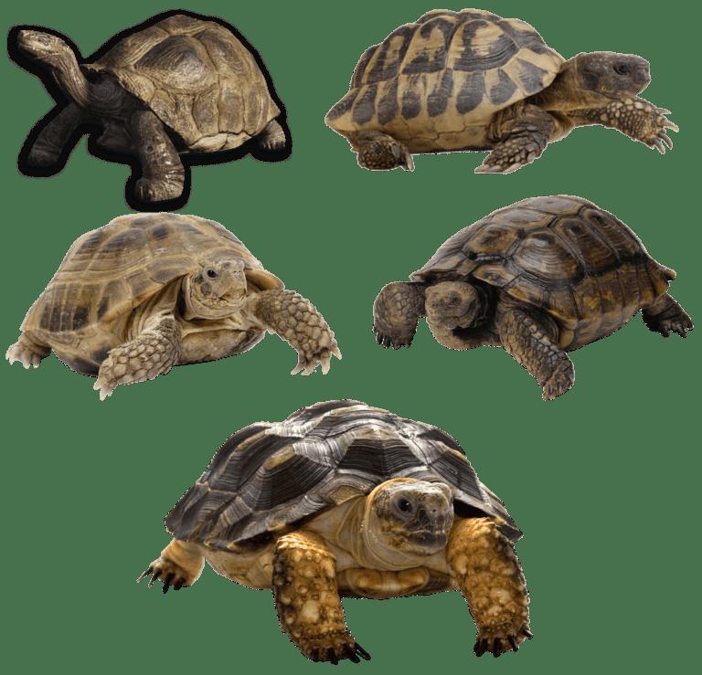 Turtle Vs Tortoise Vs Terrapin: Differences, Similarities & Requirements