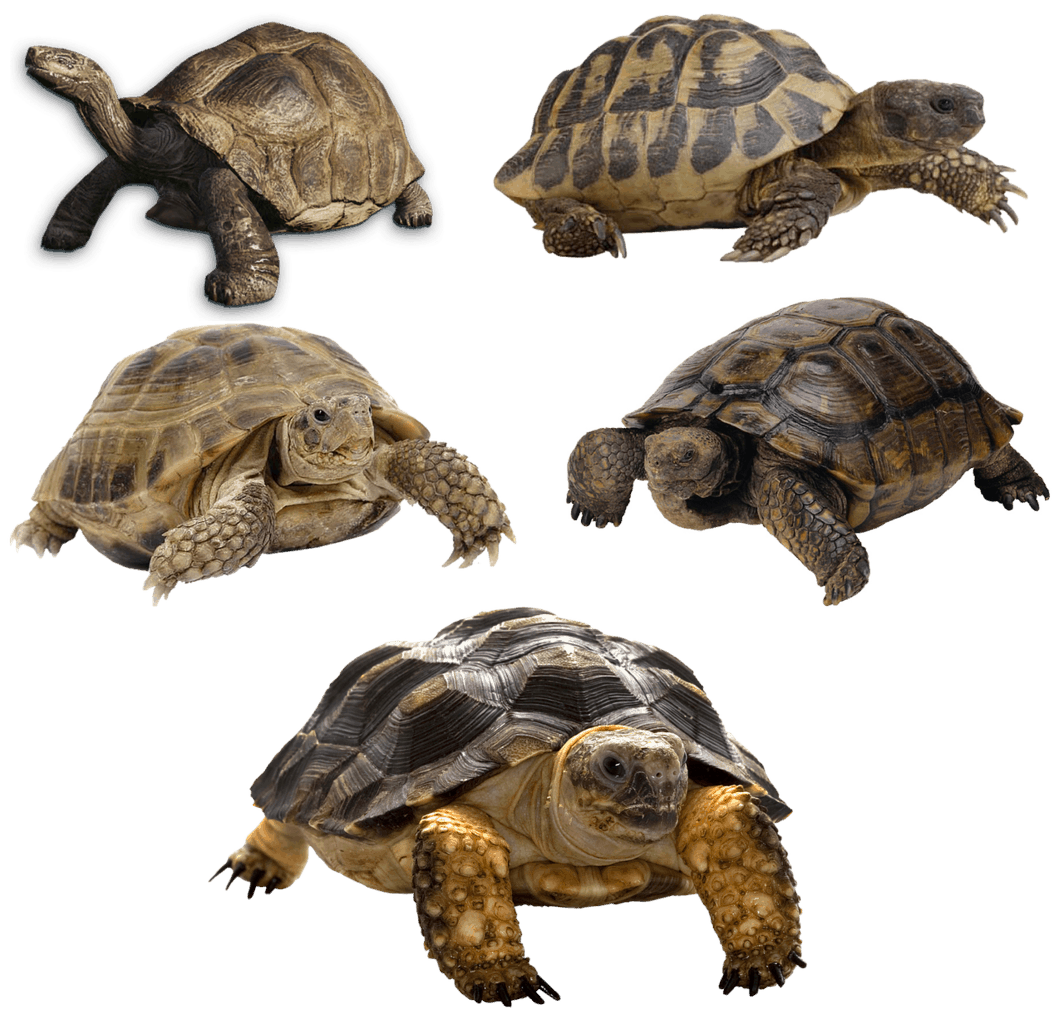 turtle vs tortoise vs terrapin
