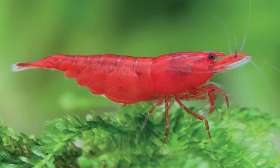 Cherry Shrimp Cost
