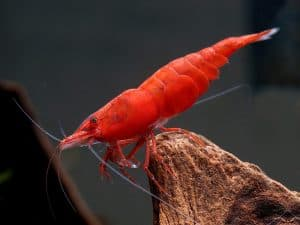 How Fast Do Cherry Shrimp Grow