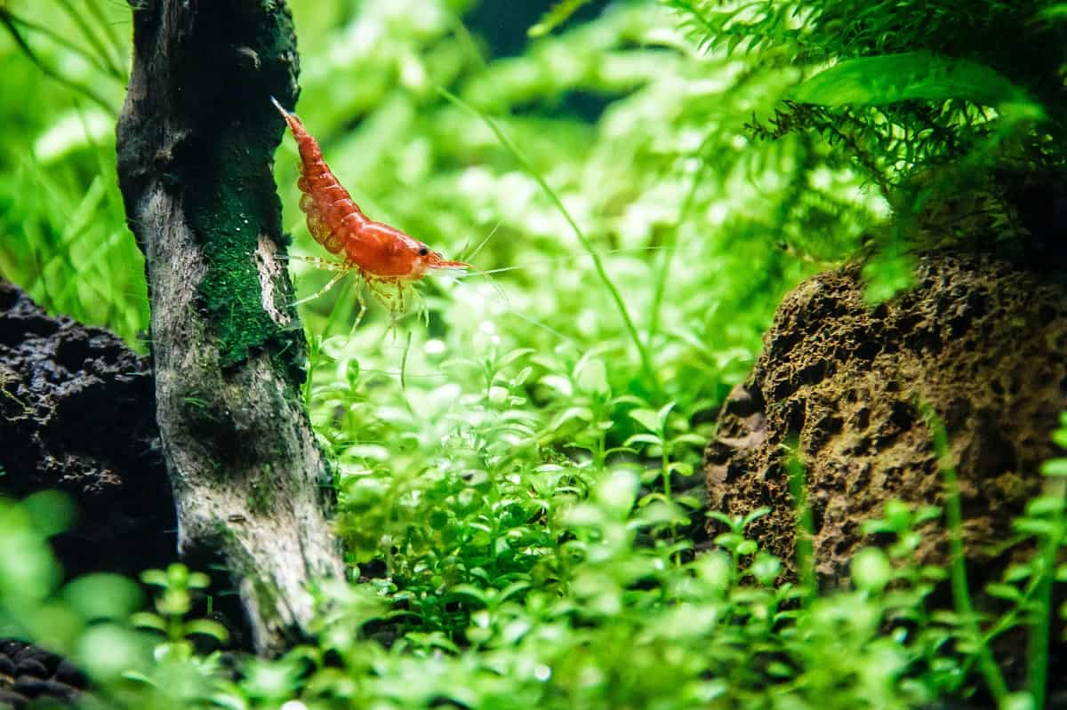 best substrate for cherry shrimp tank