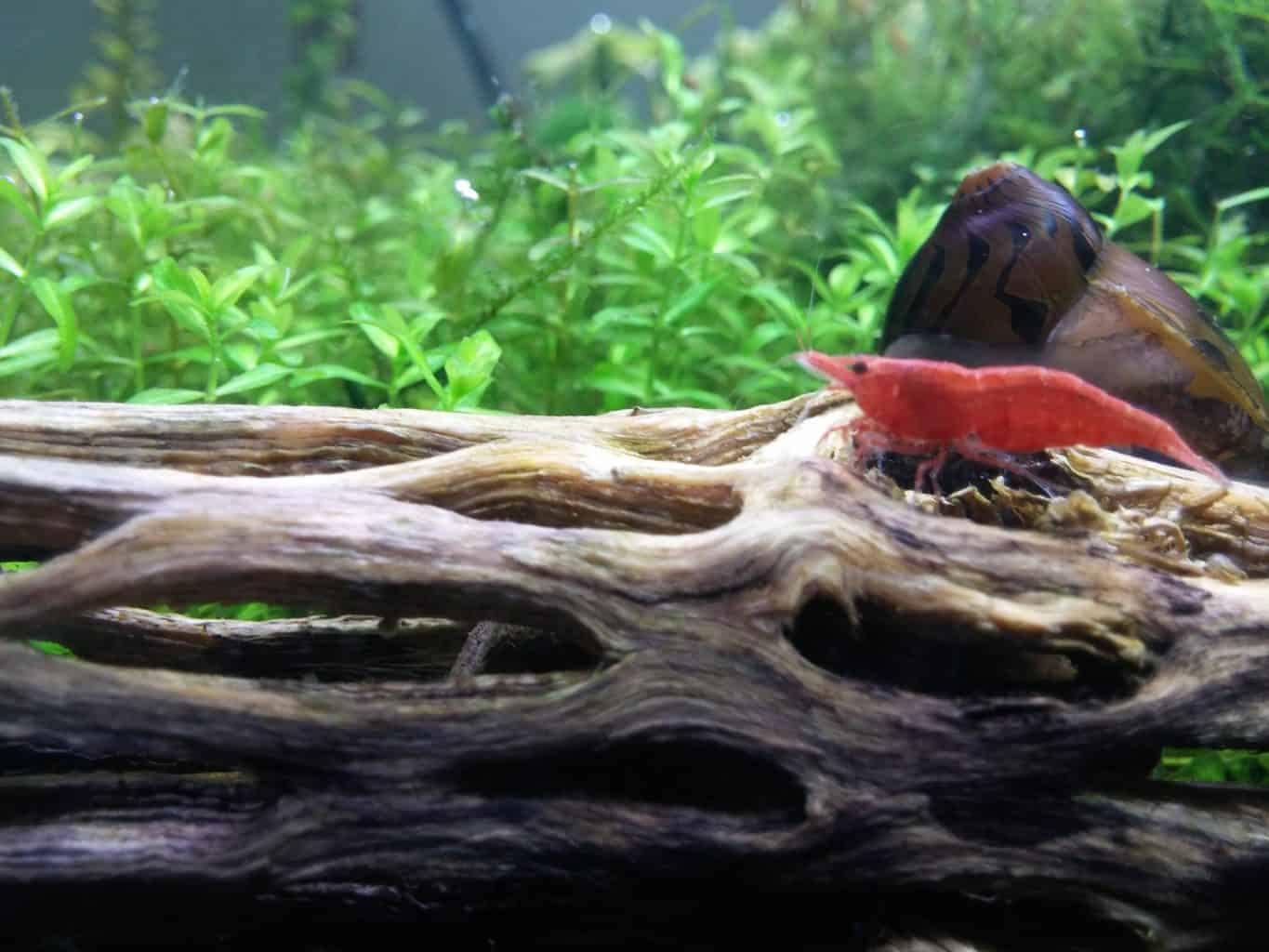 cherry shrimp selective breeding