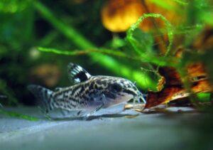 dwarf cory catfish