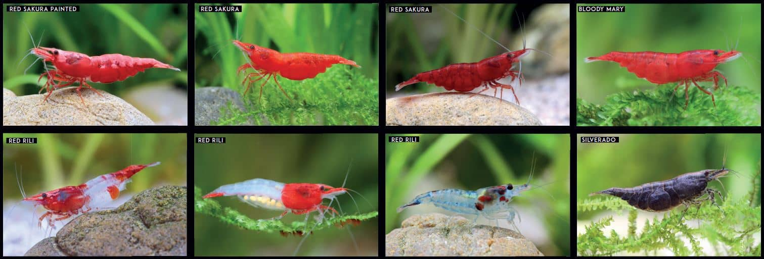 grading red cherry shrimp