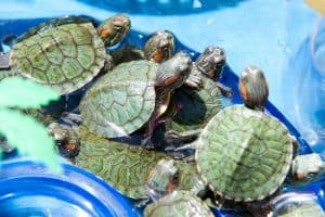 Most popular types of pet turtle