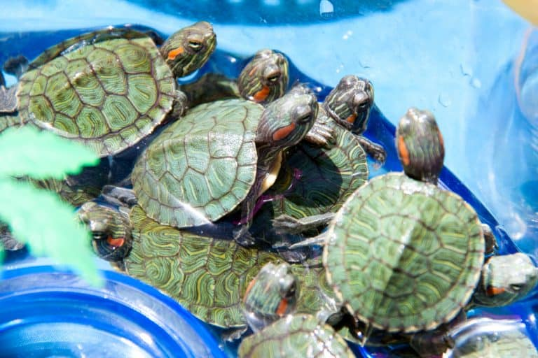 The 10 Most Popular and Easy Going Types of Pet Turtle In The USA and Europe