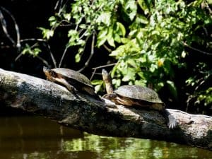 Central American Wood Turtles