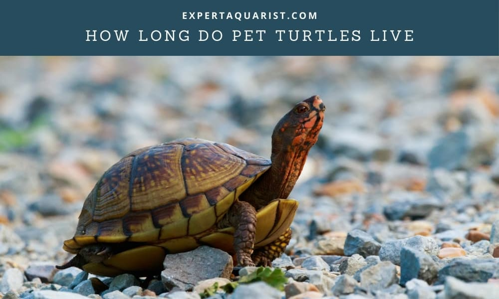 How Long Do Pet Turtles Live & Their life span