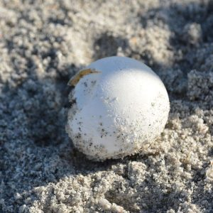 how to take care of a turtle egg