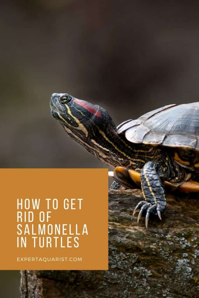 How to get rid of salmonella in turtles
