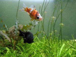 Shubunkin_goldfish