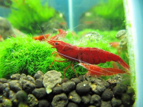 what do cherry shrimp eat
