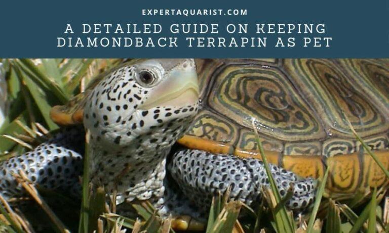 A Detailed Guide on Keeping Diamondback Terrapin As Pet