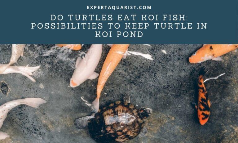 Do Turtles Eat Koi Fish: Possibilities To Keep Turtle in Koi Pond