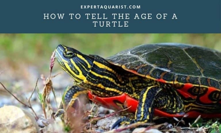 How To Tell The Age Of A Turtle: 2 Easy and 2 Alternative Methods Explained