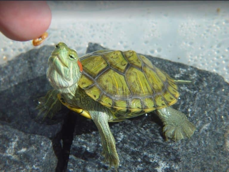 How Often Do Painted Turtles Eat And What To Feed Them