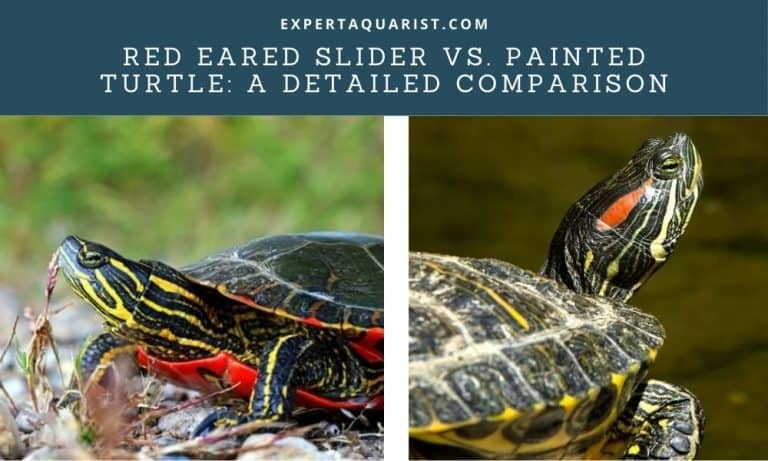 Red Eared Slider Vs. Painted Turtle: A Detailed Comparison (Differences And Similarities)