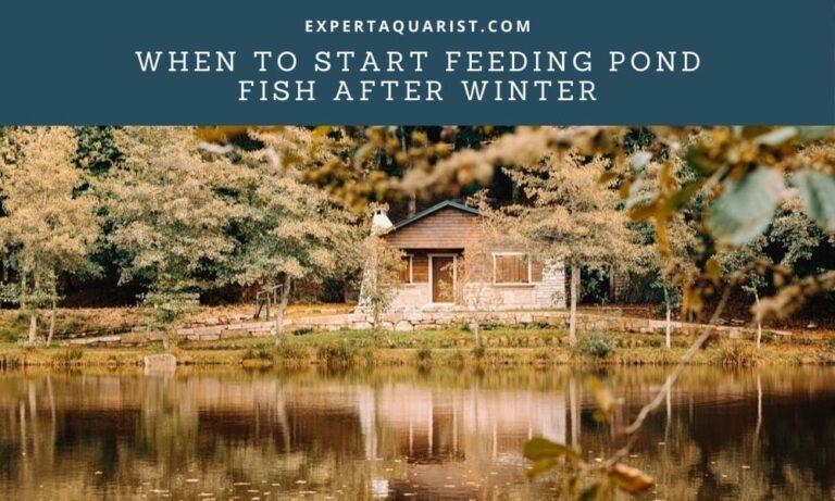 When To Start Feeding Pond Fish After Winter (Safest Way)