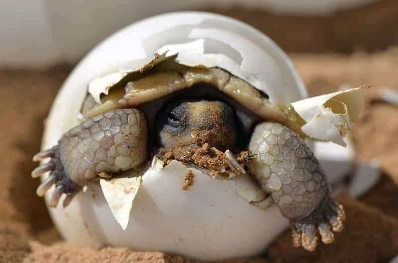 how to incubate turtle eggs