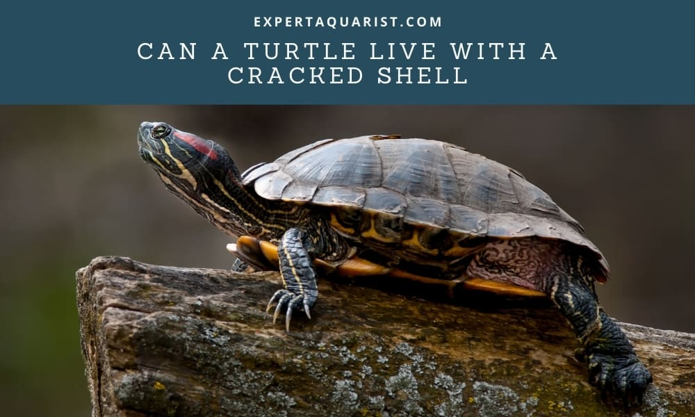Can A Turtle Live With A Cracked Shell