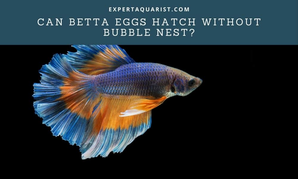 Can Betta Eggs Hatch Without Bubble Nest?