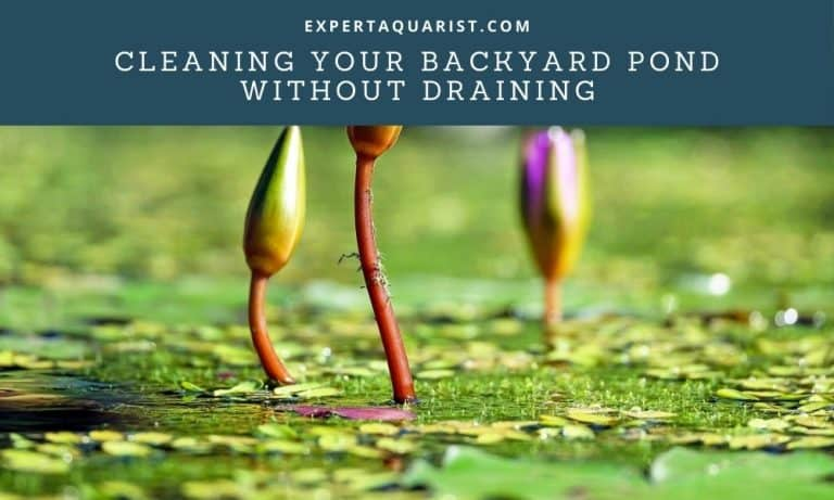 Cleaning Your Backyard Pond without Draining: Step by Step Guide