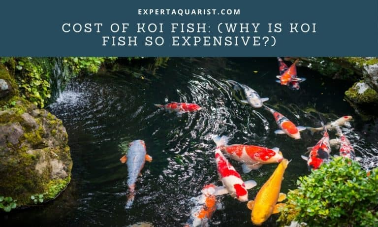 Cost of Koi Fish: (Why Are Koi fish so expensive?)