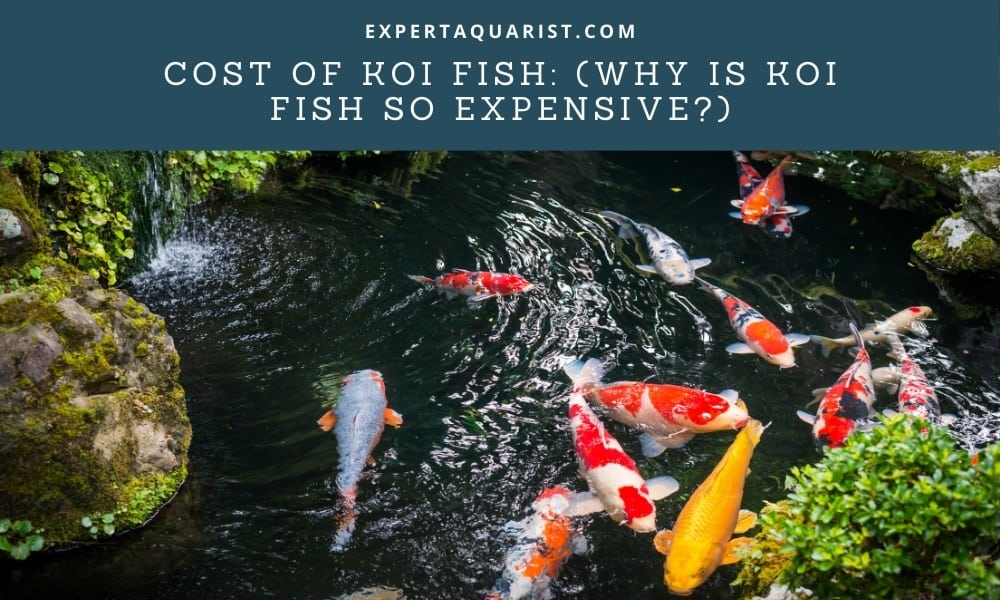 Cost of Koi Fish: (Why is Koi fish so expensive?)