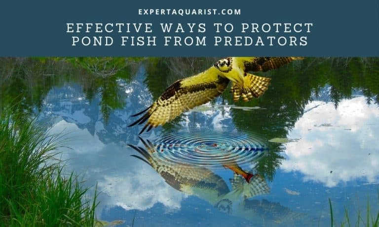7 Highly Effective Ways To Protect Pond Fish from Predators