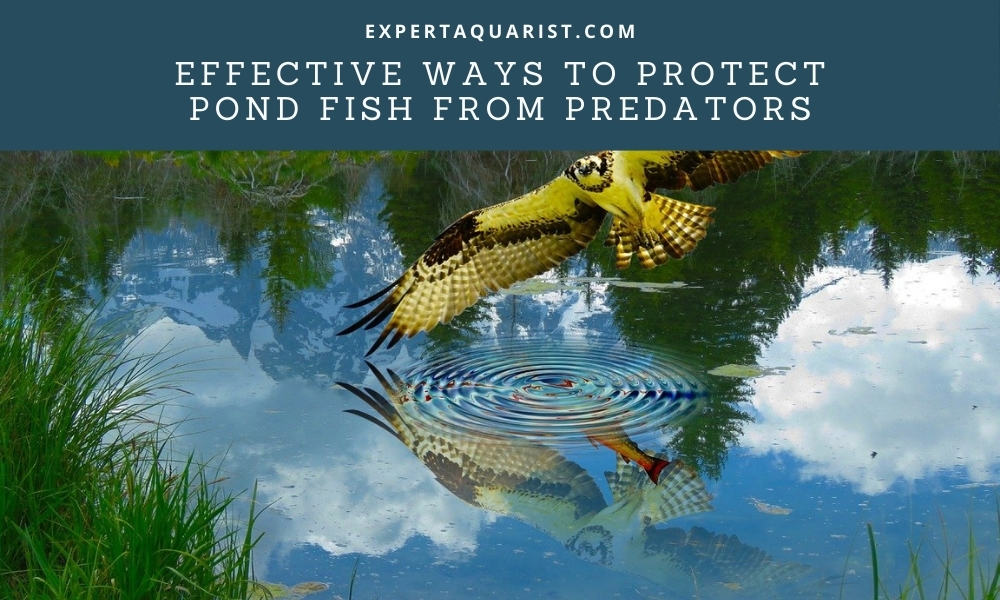 Effective Ways To Protect Pond Fish from Predators