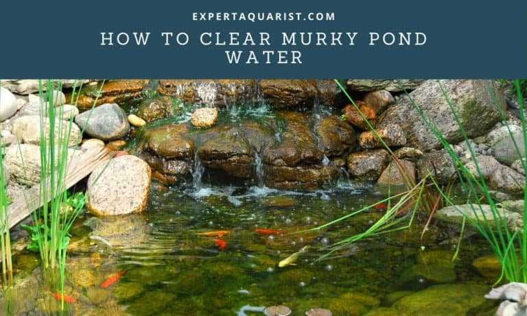 How To Clear Murky pond Water